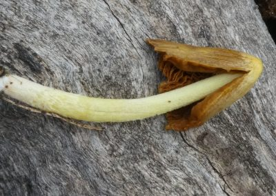 Bolbitius elegans